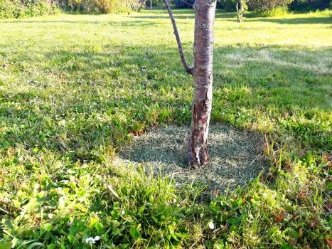 Paillage de fruitier avec de la tonte de pelouse