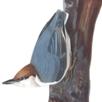 2 Brown-headed nuthatch, 1831 edition