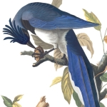 4 Black-throated magpie-jay, 1830 edition