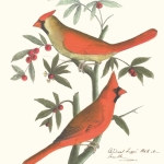 Red cardinal, Cardinalis cardinalis, male and female