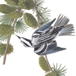 3 Black-and-white warbler, 1830 edition